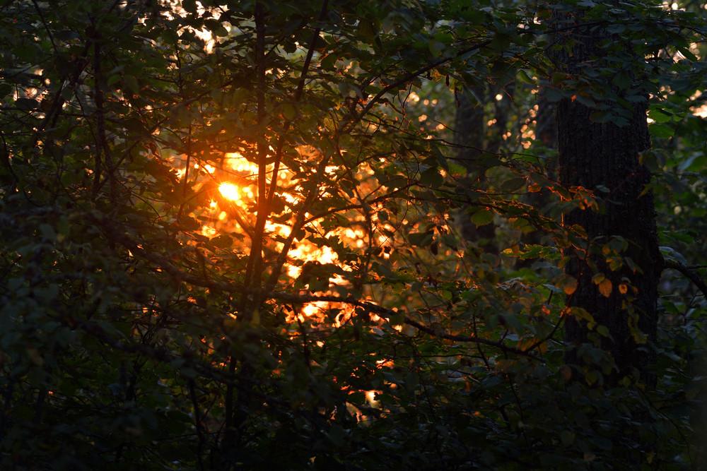 Morning Sun In The Foliage