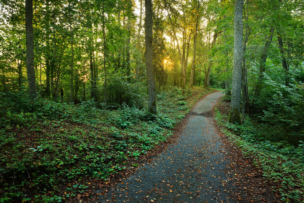 A Road In The Morning Forest. Latvia