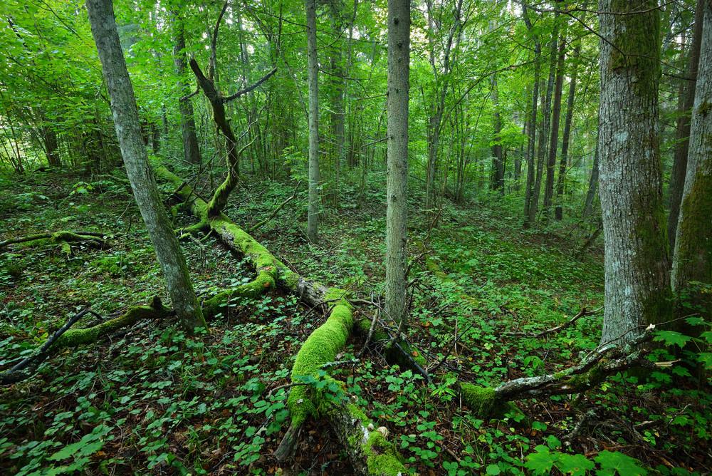 Dark Forest Scene Full Of Moss. Latvia
