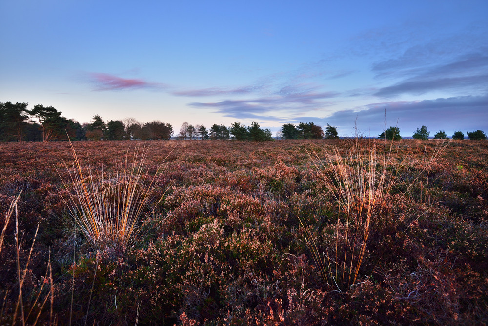 Heather Field In The Netherlands