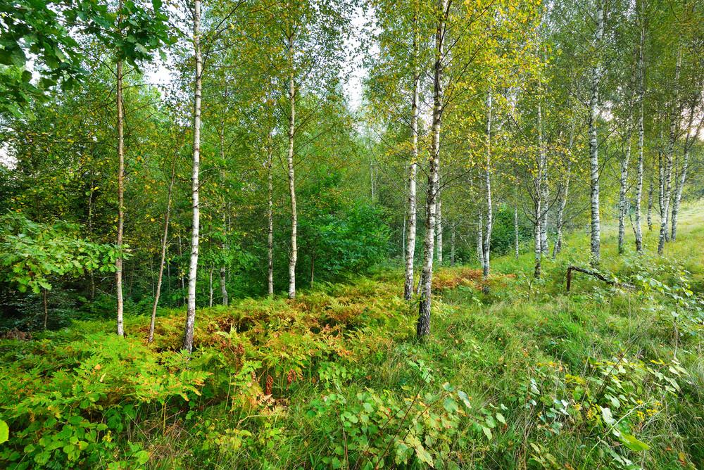 Birch Tree Forest In Latvia