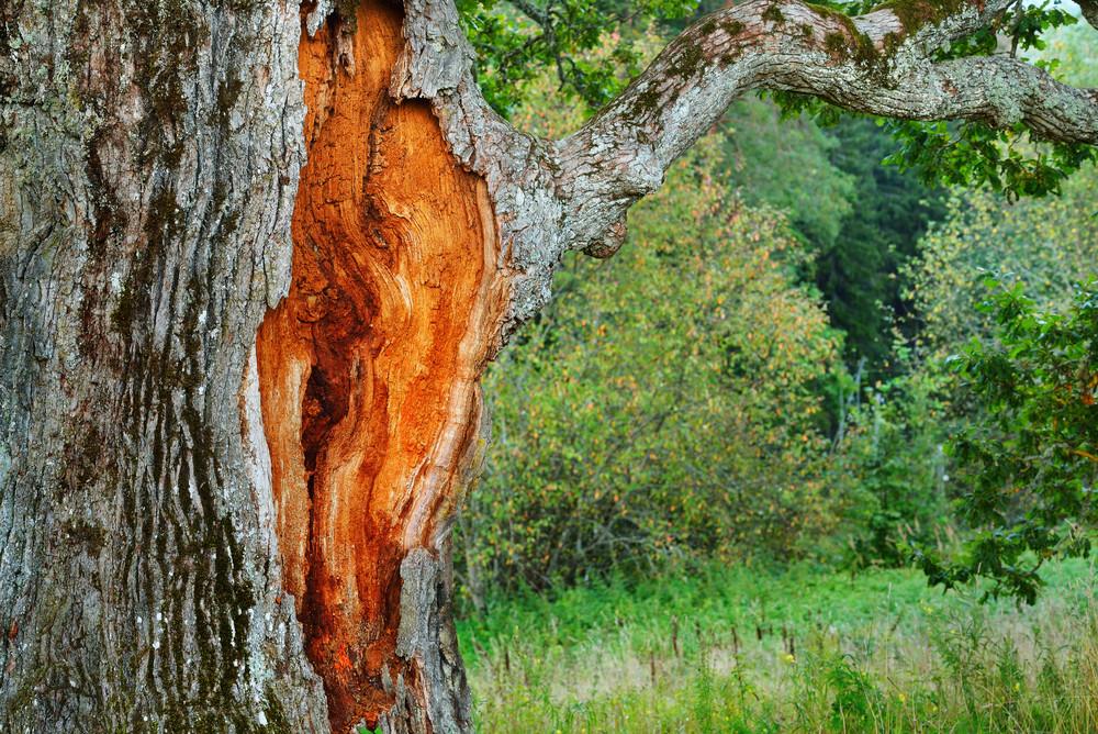 Old Mighty Oak Tree In Latvian Countryside