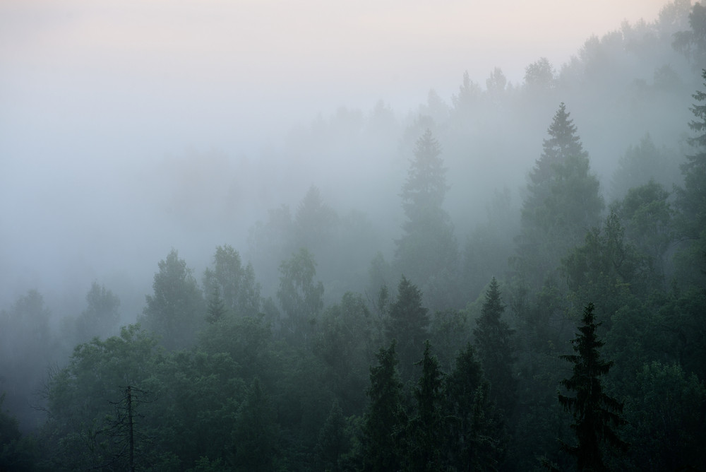 Forest In Sugulda Covered In Strong For