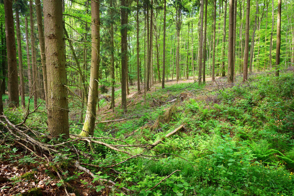A Beech Tree Forest In Germany