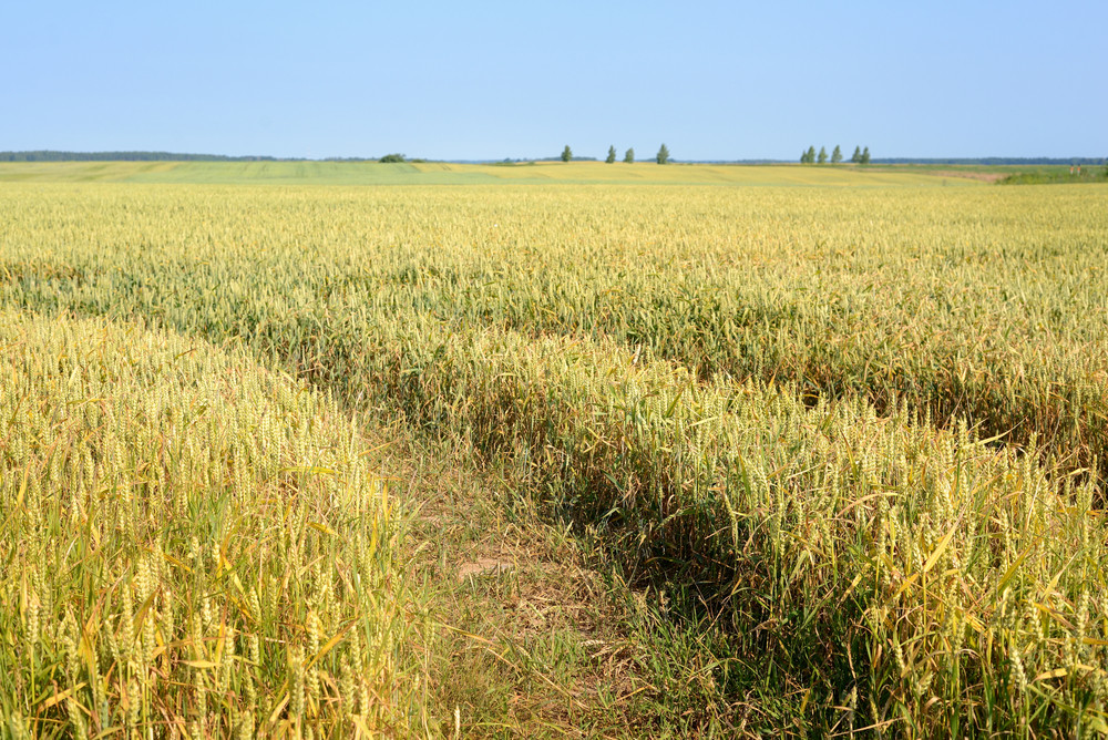 Agriculture View. Wheat Field Scene