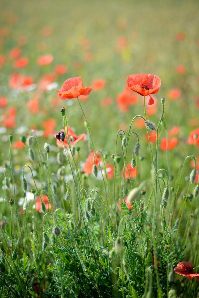 A Poppy Field Close-up