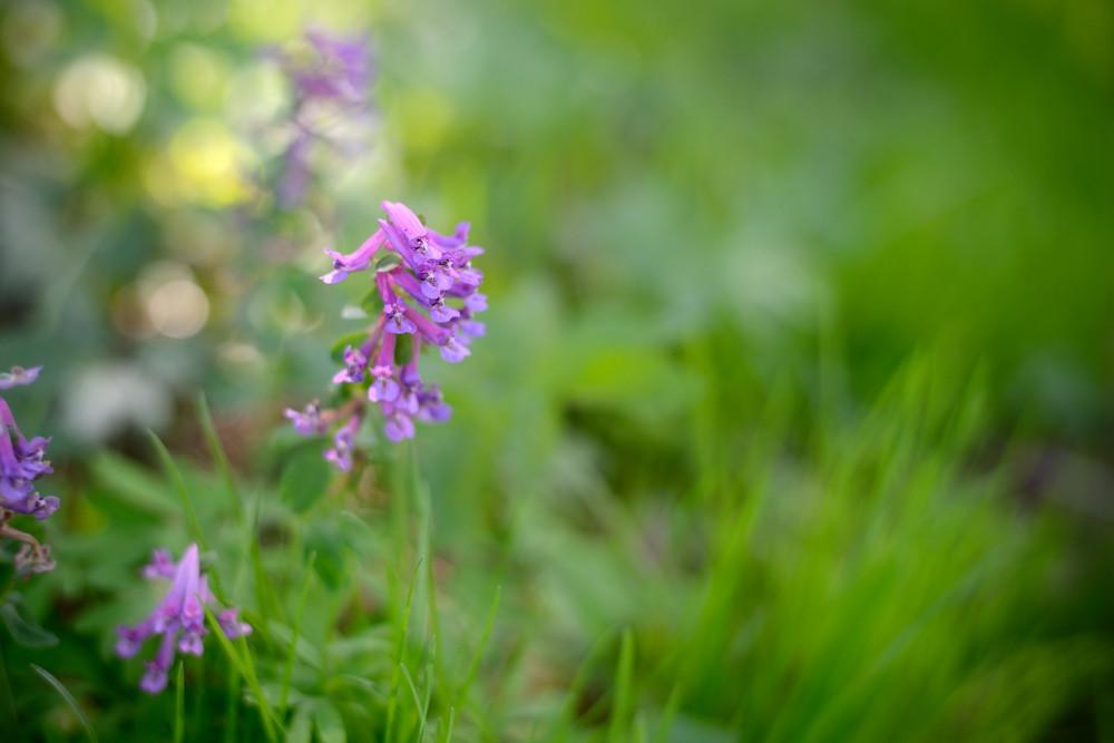 Purple Flowers In Spring