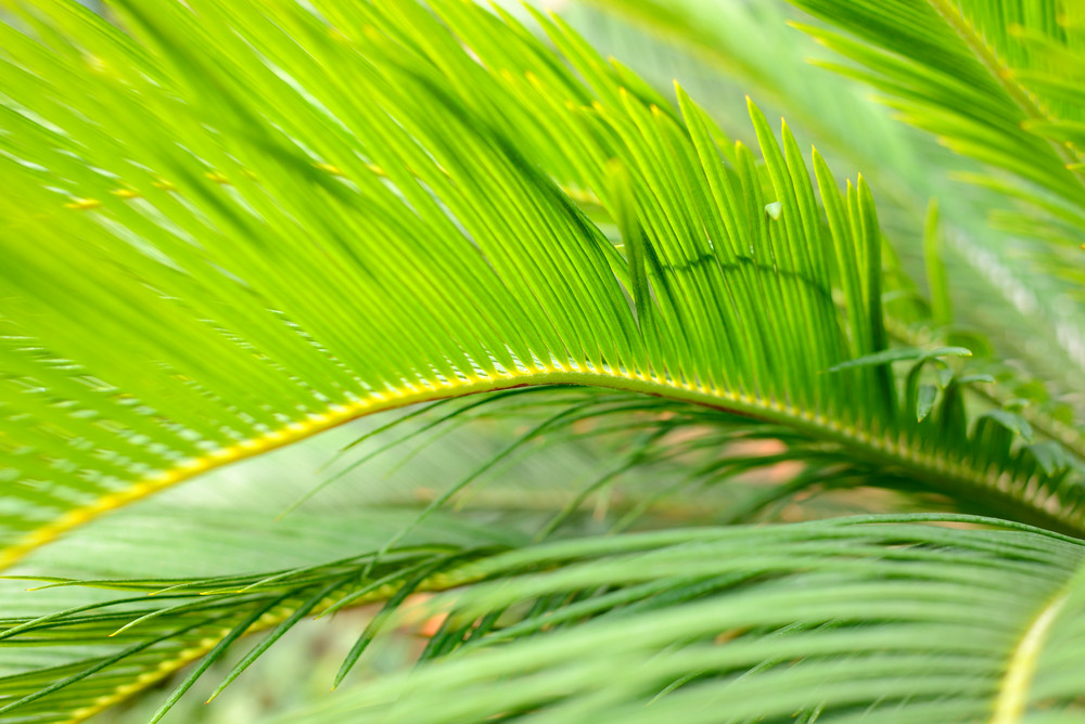 Palm Leaves Close-up