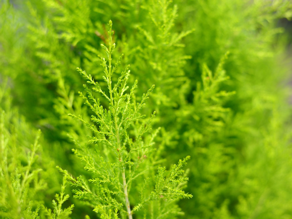 Green Juniper Close-up