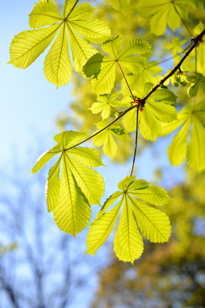 Chestnut Leaves Close-up
