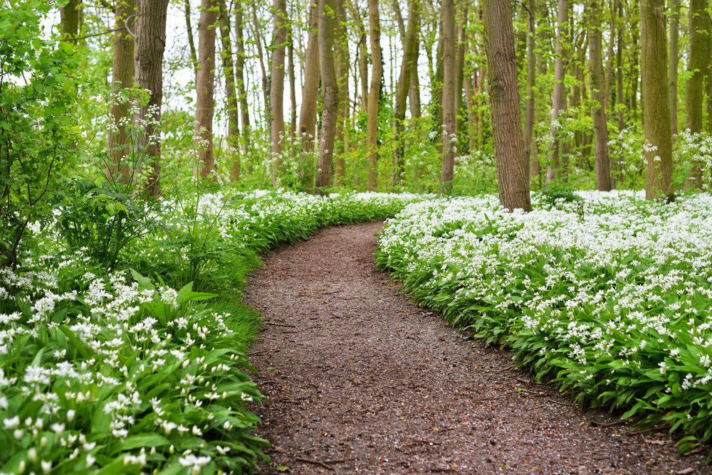A Road In The Forest And The Blooming Wild Garlic (allium Ursinum) In Stochemhoeve