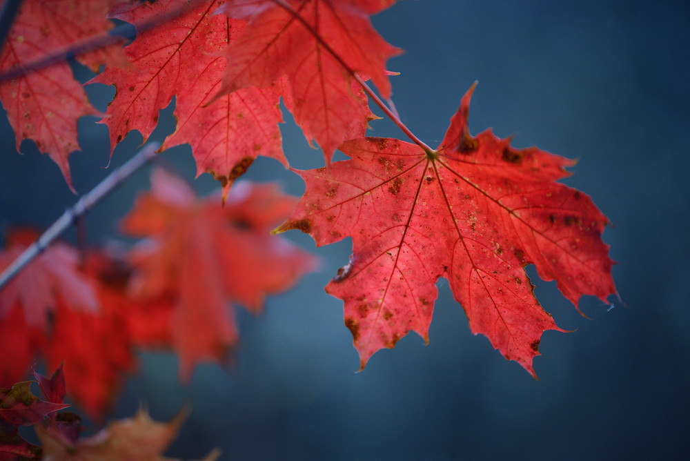 Red Autumn Maple Leaves Close-up