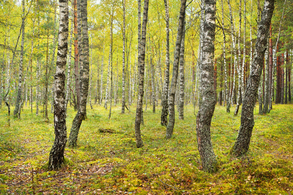 Birch Tree Forest In Latvia.