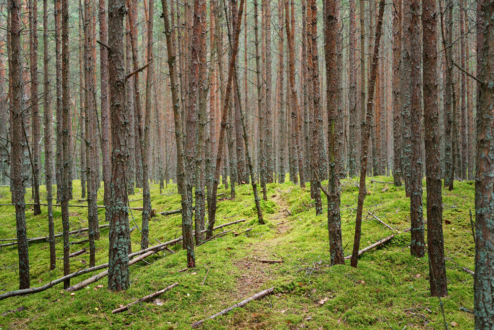 Pine Forest In Latvia.
