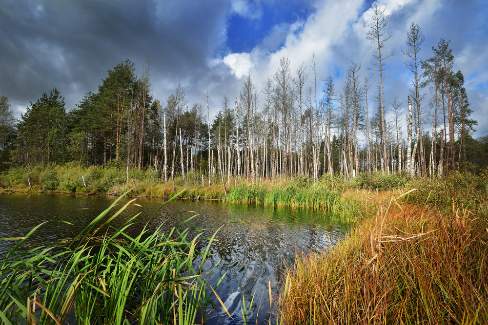 Swamp In Autumn In Latvia