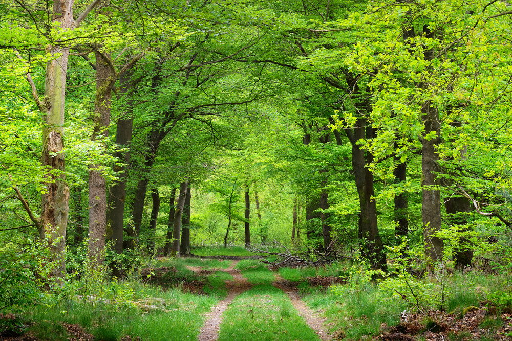 Spring Forest In The Netherlands