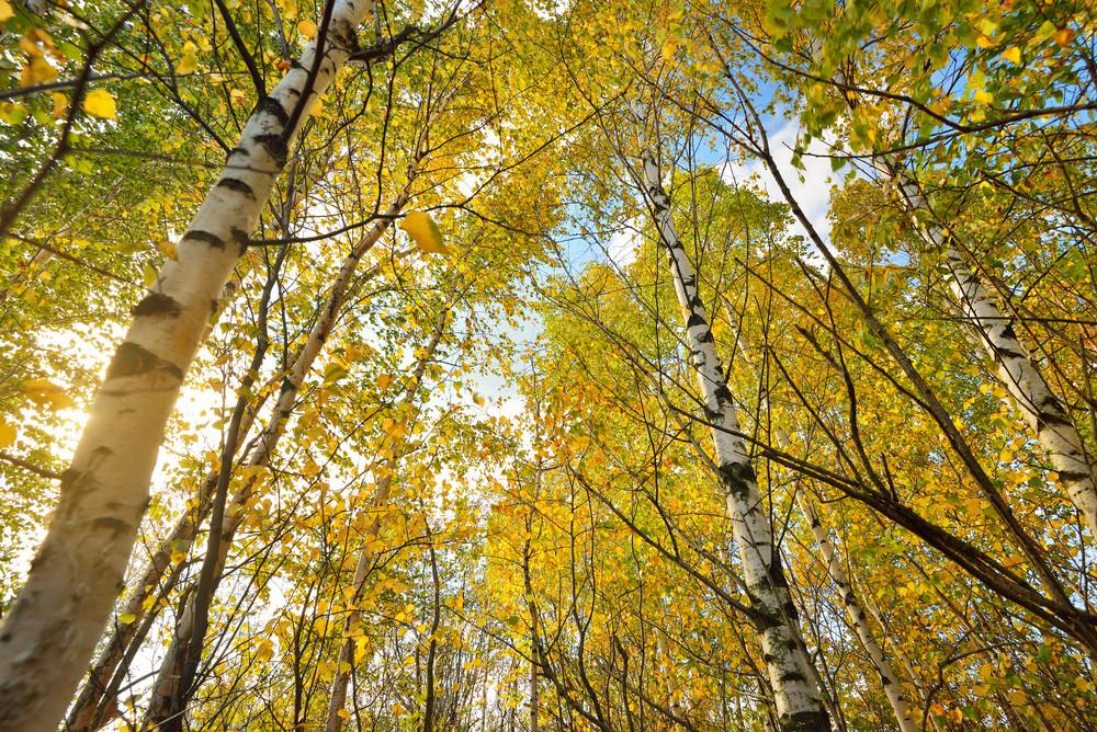 Autumn Landscape. Birch Tree Forest
