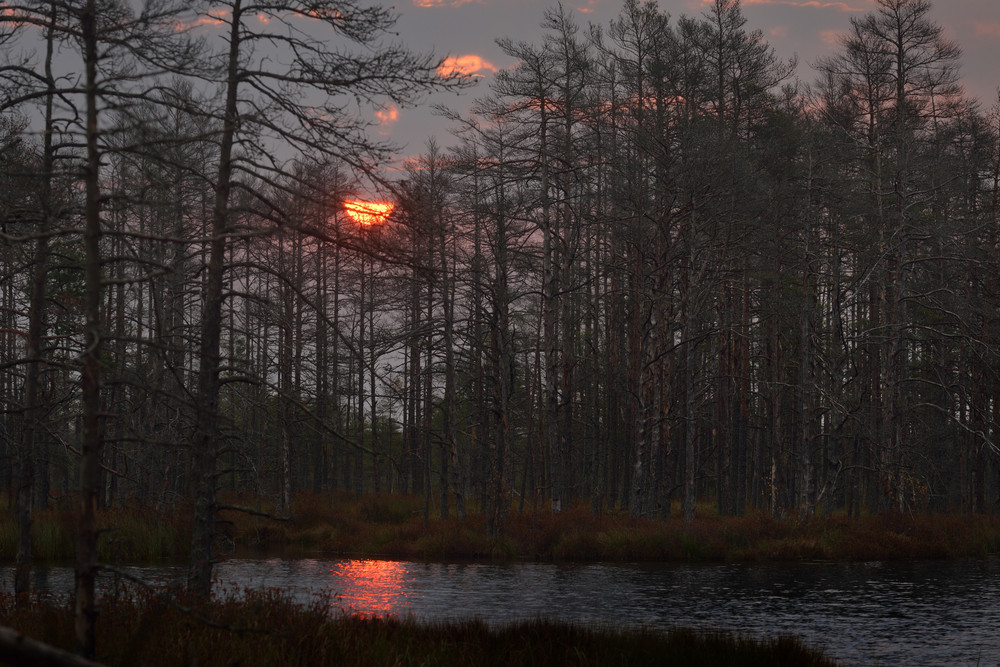 Kemeri Bog In Latvia. Forest Swamp Scene.