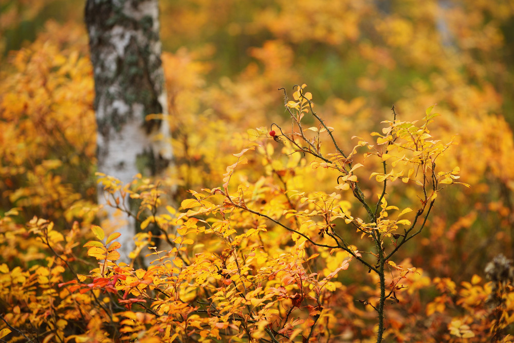 Birch Tree And The Autumn Bushes