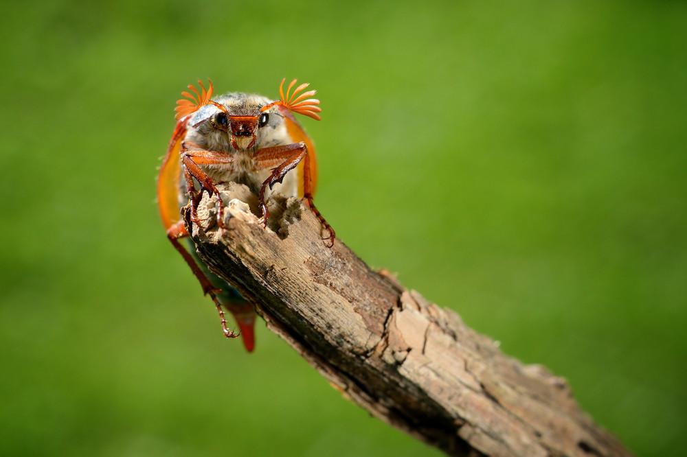 May Bug (melolontha Melolontha) In Natural Environment