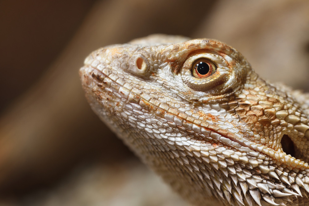 Central Bearded Dragon Pogona Vitticep In The Zoo