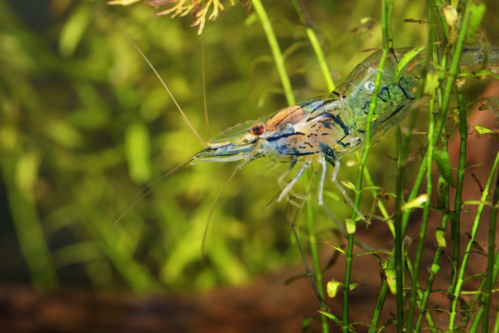 Asian Glass Shrimp Macrobrachium Lanchesteri In Aquarium