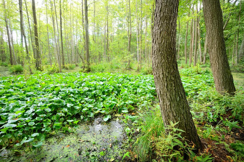 Forest Swamp Landscape View