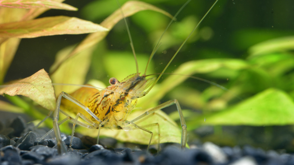Asian Glass Shrimp Macrobrachium Lanchesteri In Aquarium