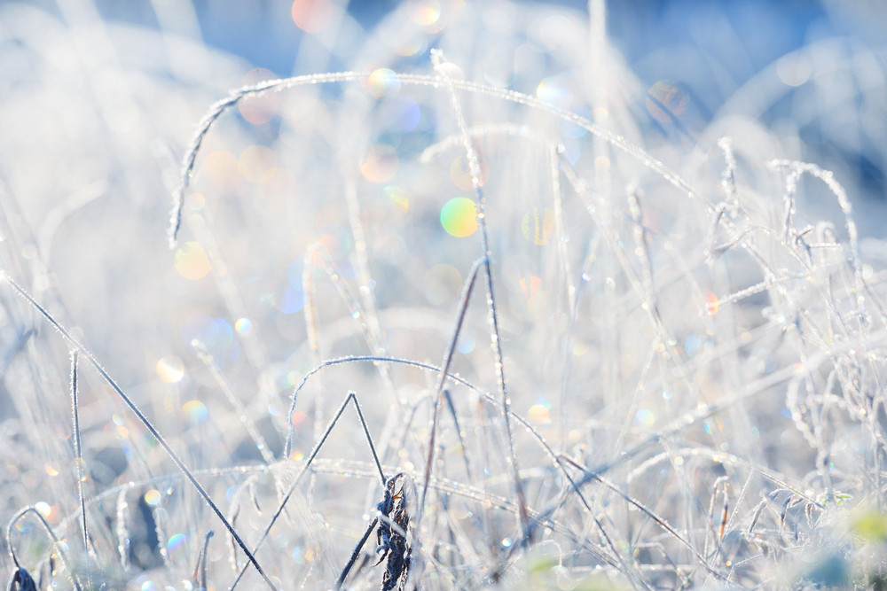Frozen Plants In Winter With The Frost