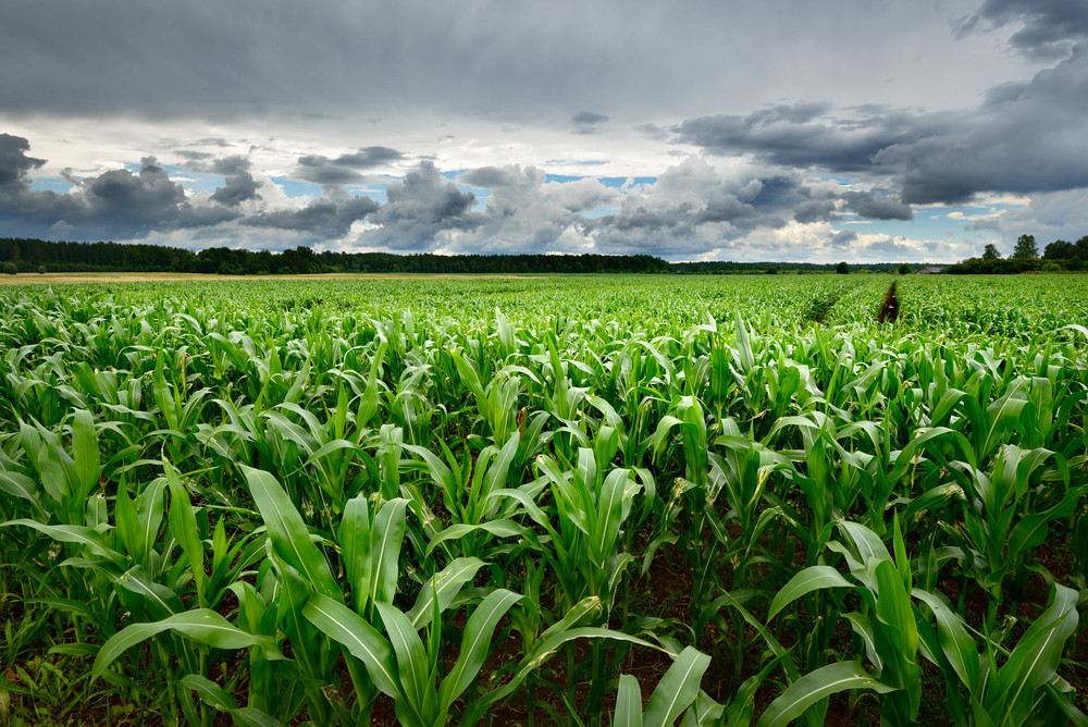 Corn Field Close-up Against Stormy Sky
