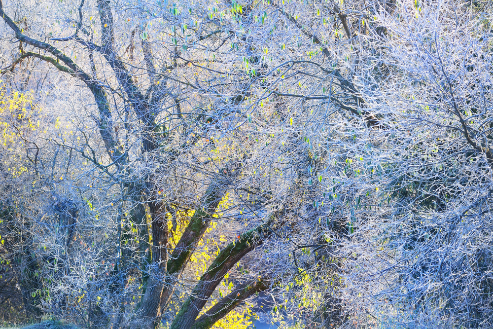 Frozen Winter Landscape. Trees With The Frost