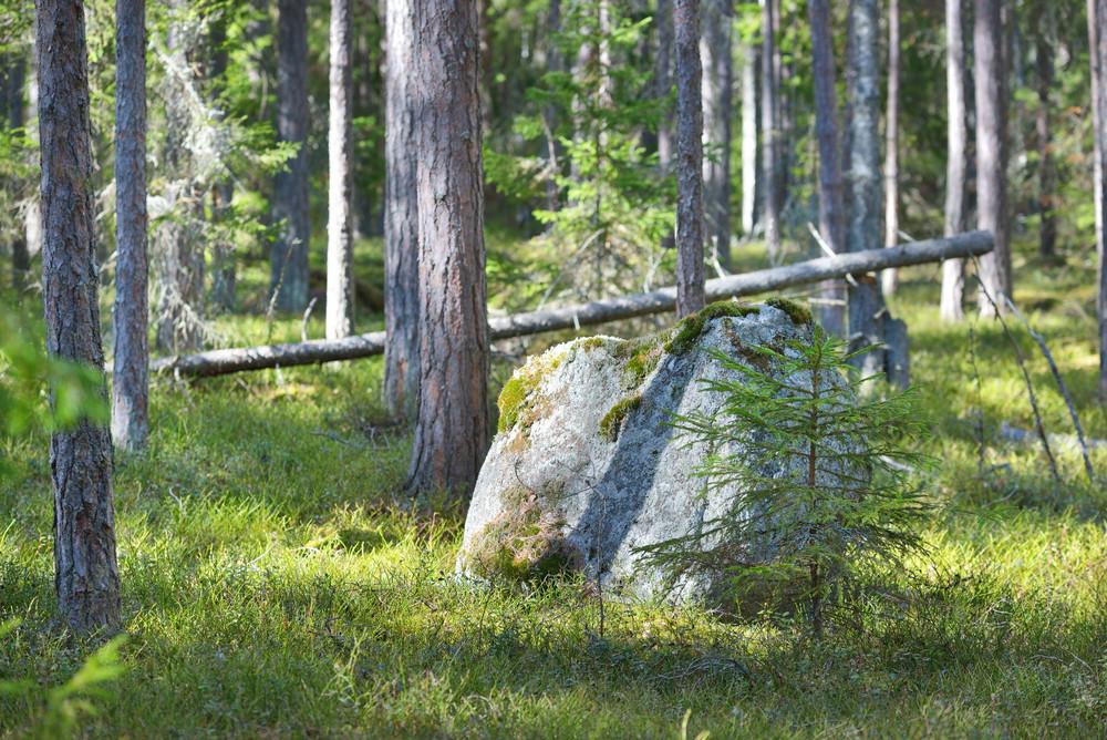 Mossy Rock In Woods