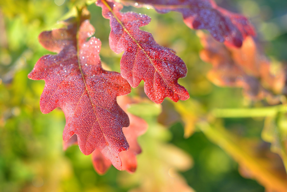 Close-up Of A Red Saturated Oak Leaves. Shallow Depth Of Field