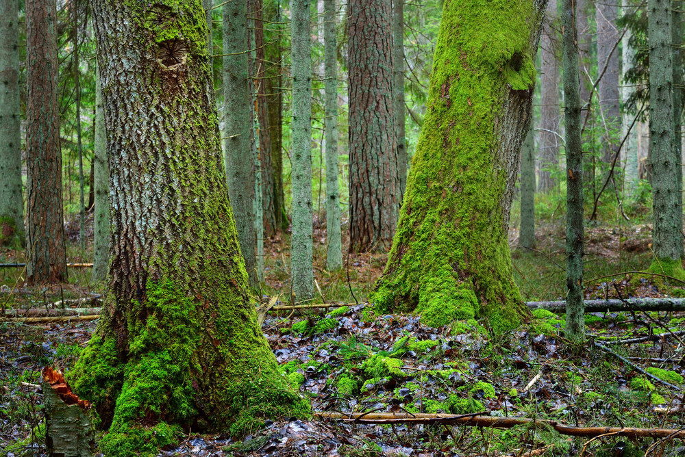 Dark Moss Covered Pine Forest