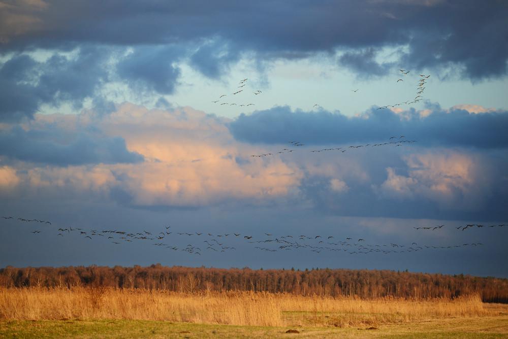 Wild Ducks Over The Field