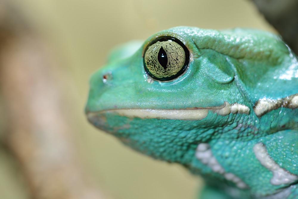 Waxy Monkey Leaf Frog Phyllomedusa Sauvagii