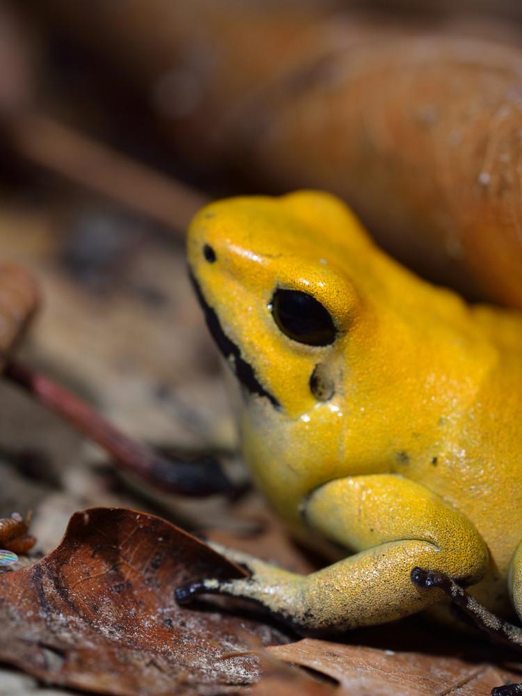 Golden Poison Frog Phyllobates Terribilis In Terrarium
