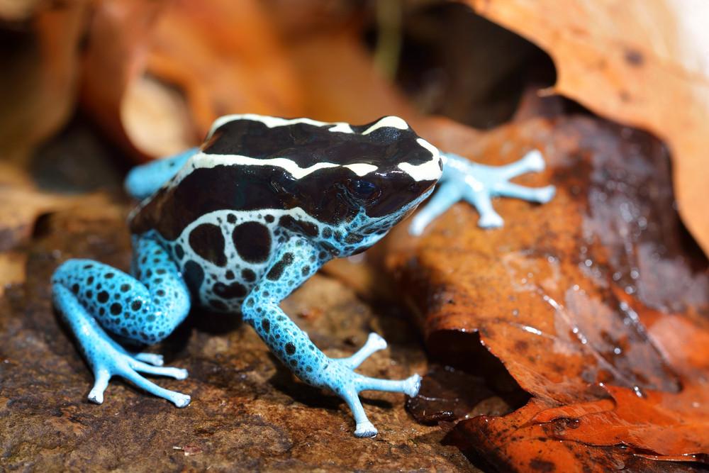 Blue Dart Frog Dendrobates Tinctorius