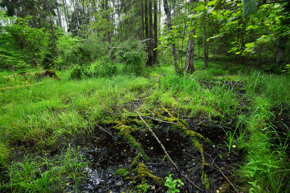 Forest Scene In Latvia
