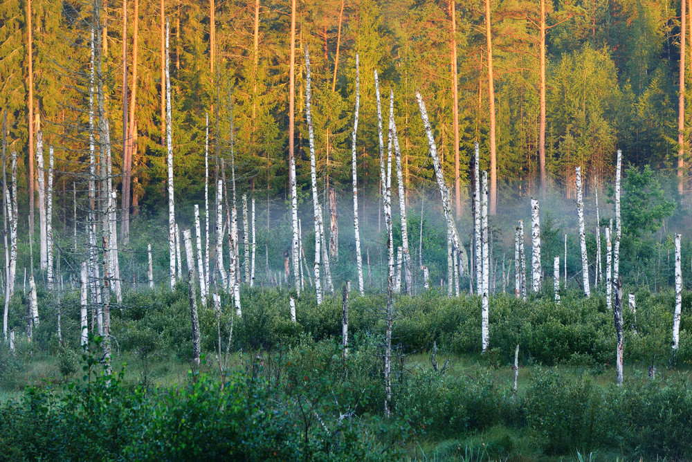 Swamp With Birch Trees In Latvia