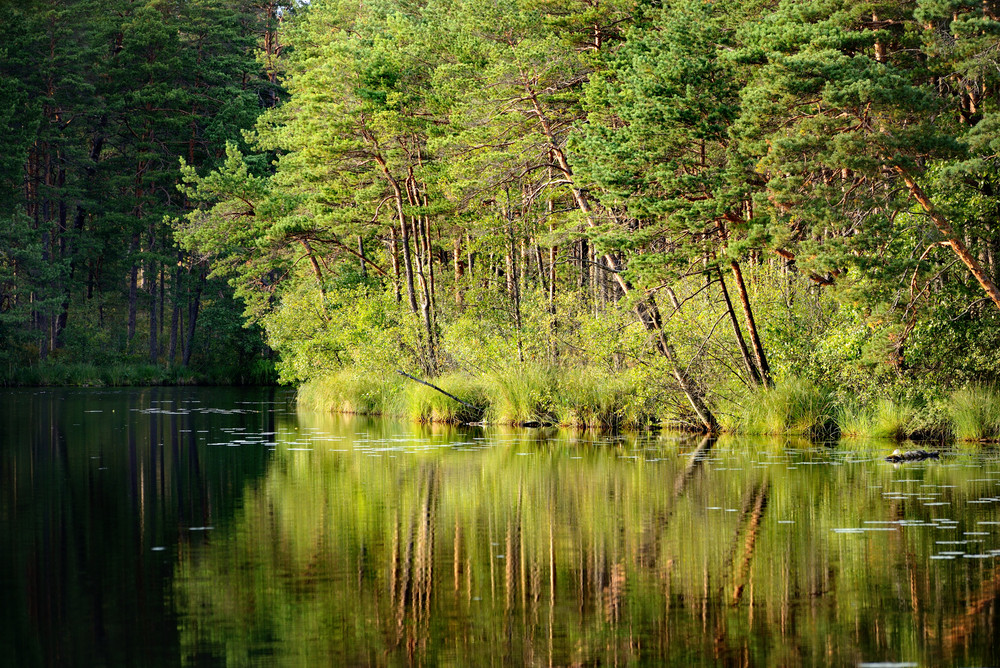 Forest Lake With A Reflection