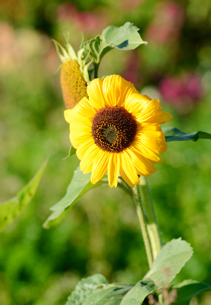 Sunflower Close-up Against Foliage Background
