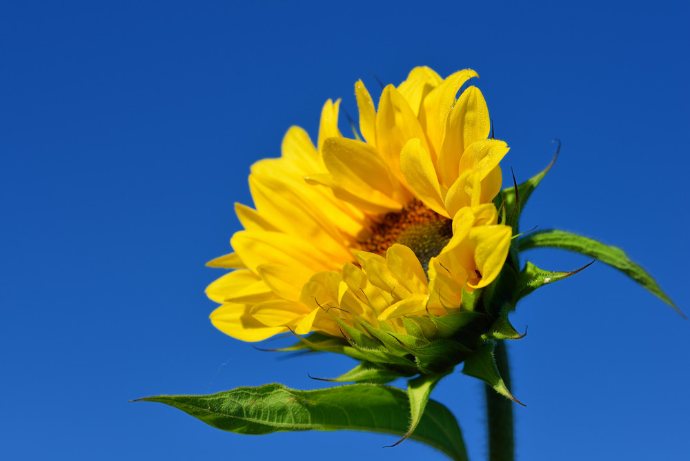 Sunflower Close-up Against Dark Blue Sky