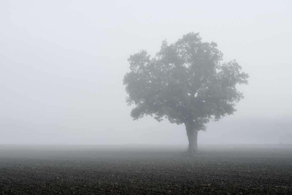 Lonely Tree In The Field In Very Strong Fog