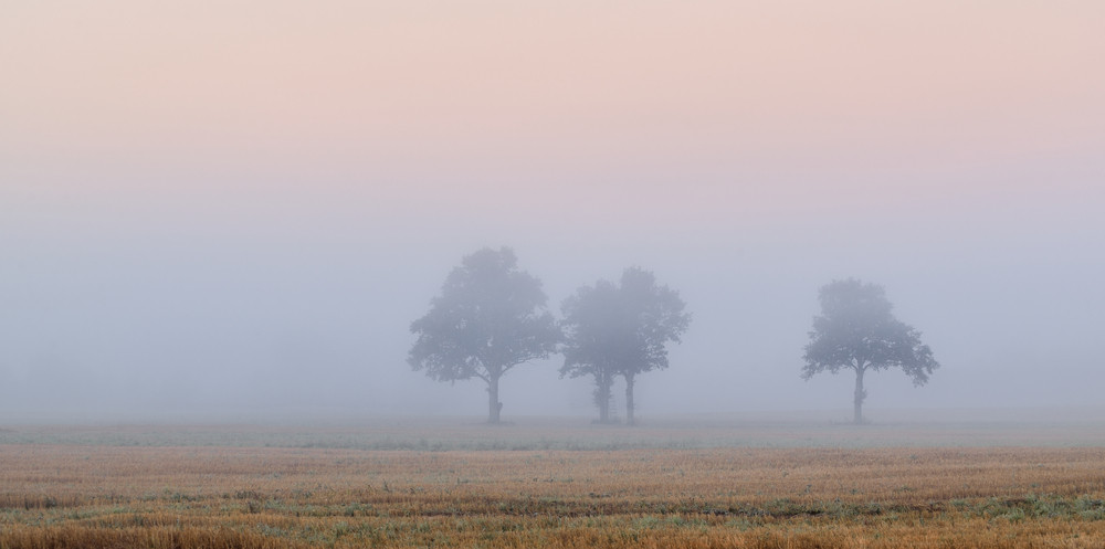 Trees In The Field In Very Strong Fog