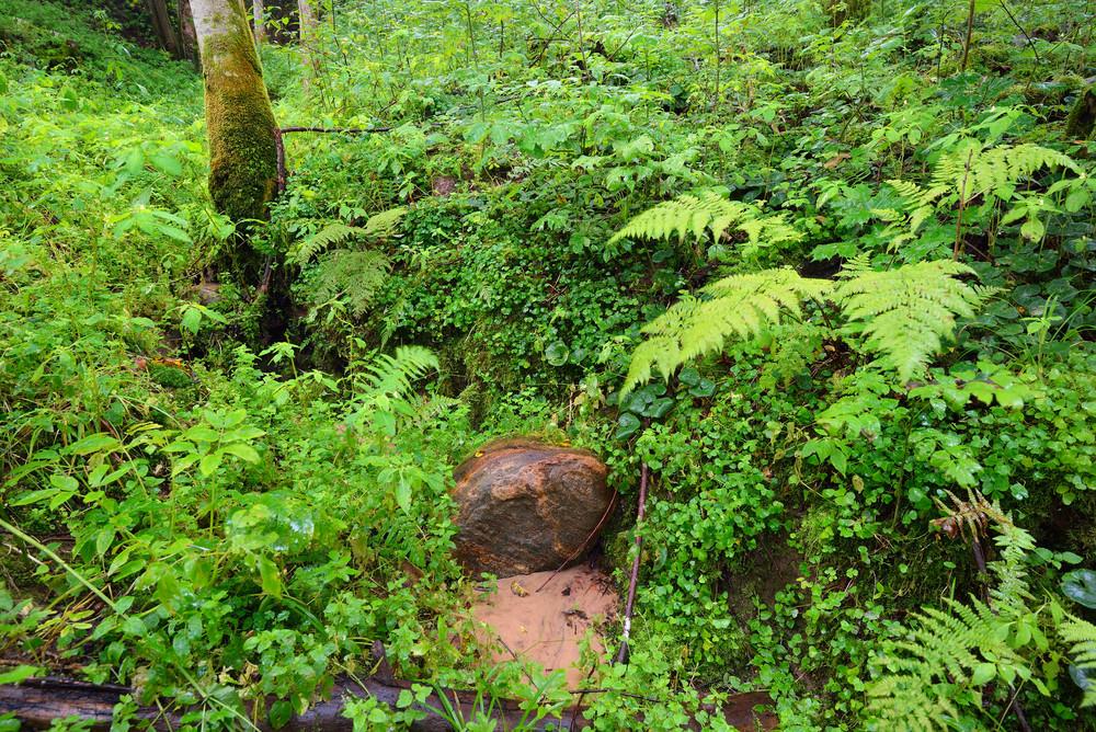Dark Pine Forest Scene In Gauja National Park