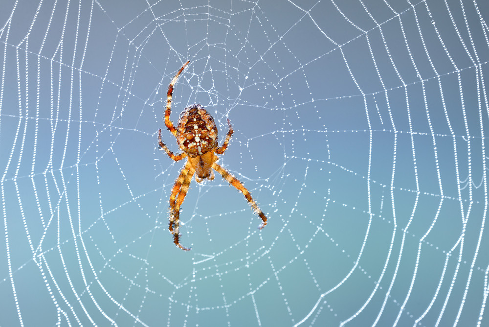Spider Sitting In His Web In The Morning