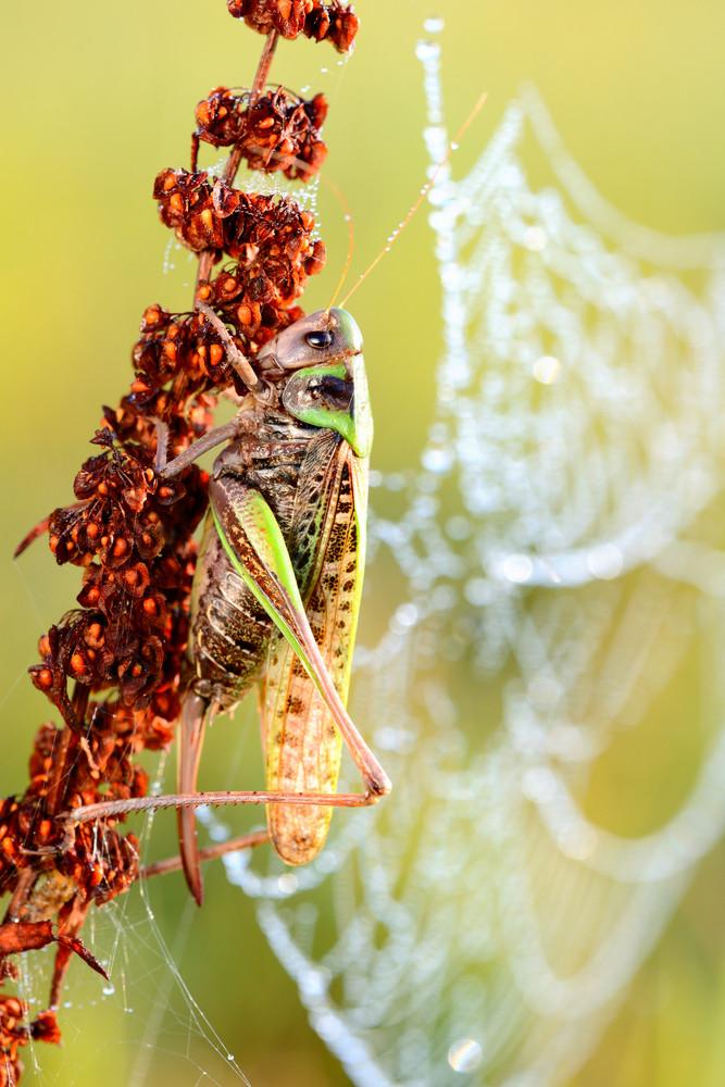 Common Grasshopper In The Morning