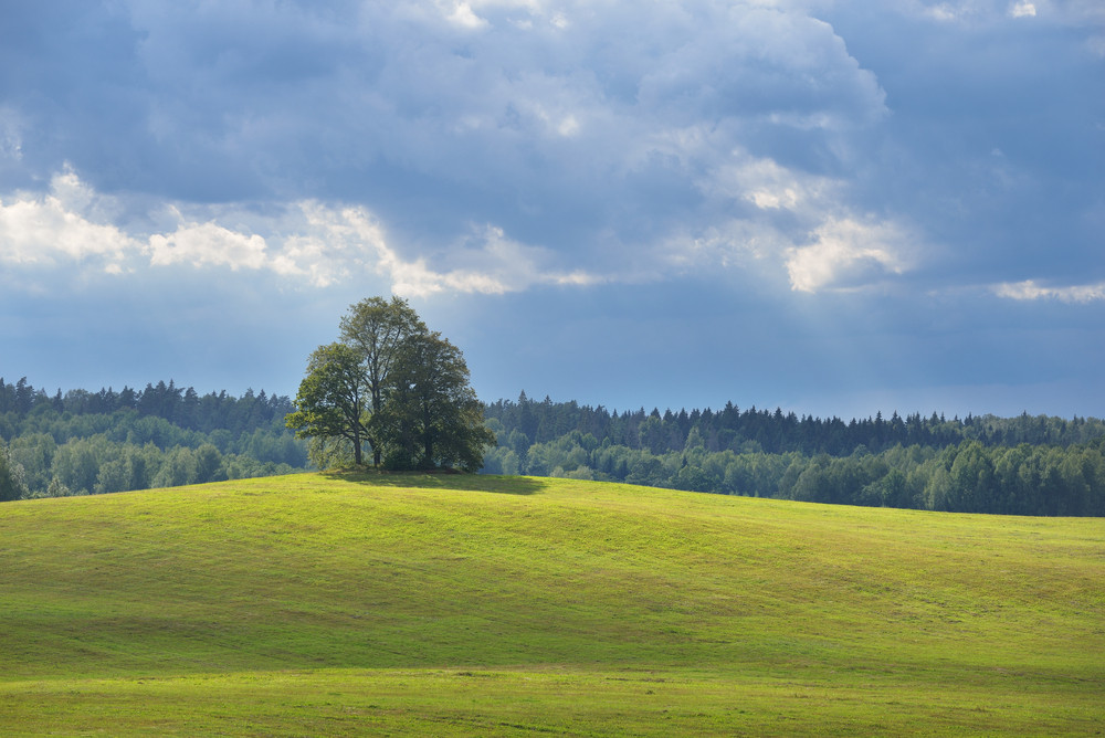 Lonely Oak Trees In The Field On The Hills