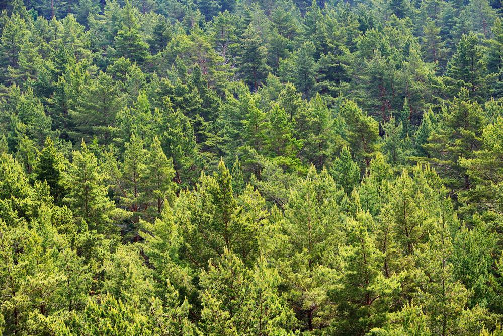 Forest On Hiumaa Island